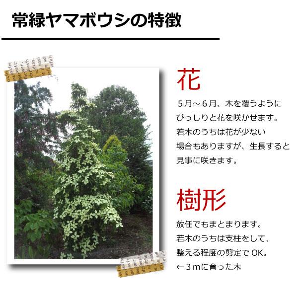 常緑ヤマボウシ ホンコンエンシス  人気のシンボルツリー