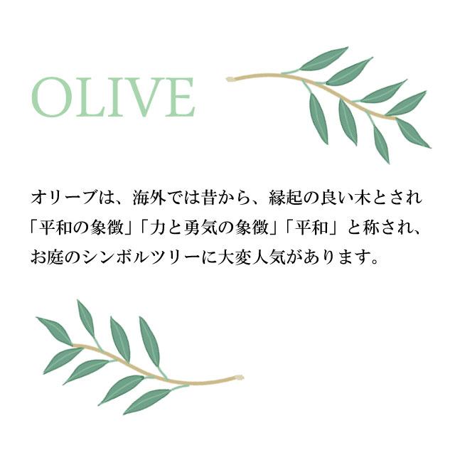オリーブ オリーブの木 シンボルツリー